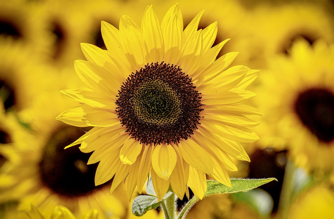 sunflower-3790834_1920